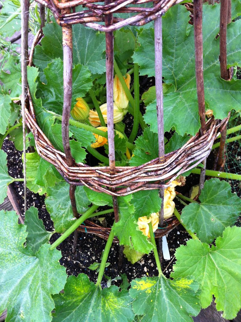 120707 courgettes