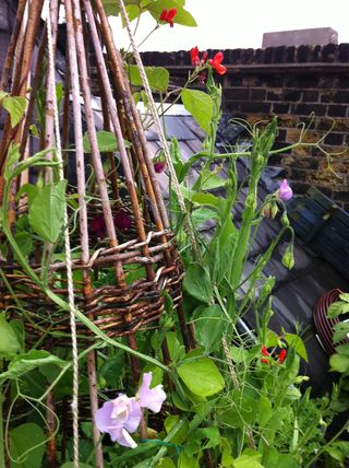 120707 sweet peas and runner beans closeup