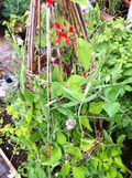 120707 sweet pea and runner bean tower