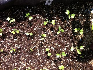 Kale seedlings 22-05