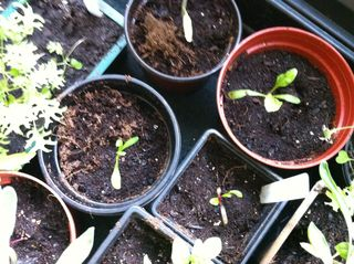 Young chard plants in pots march