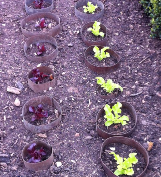 Lettuces in protective rings