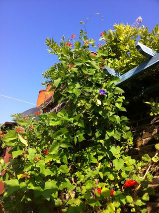 July 2013 runner beans, nasturtiums, wysteria, ipomea