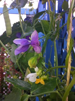French bean phonomene mongetout with sweet peas on trellis