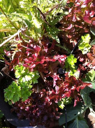 Red frilly lettuces bought as plugs and cropping in between celeriac