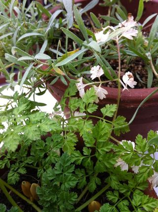 Chervil and tarragon in the gorwhouse for winter