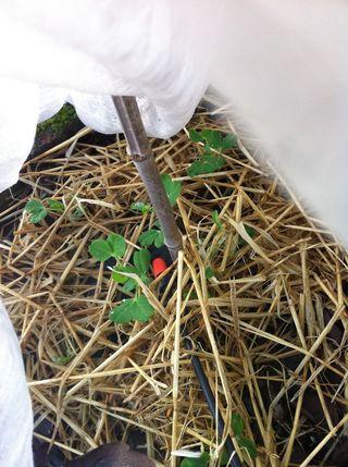 121221 meteor peas under heavy leaf and straw mulch