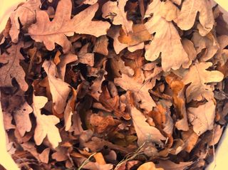 Oak leaves collected from the park