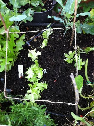 Young lettuce seedlings find a space for early autumn sewing