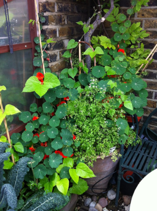 Red emperor nasturtiums undersewn with chervil and runner beans coming up
