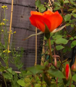 Rose June