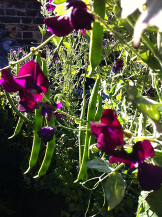 Sweet peas and runners