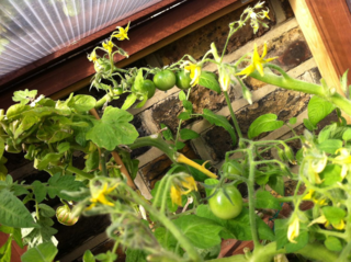 120707 tomato flowers in growhouse fruit budding