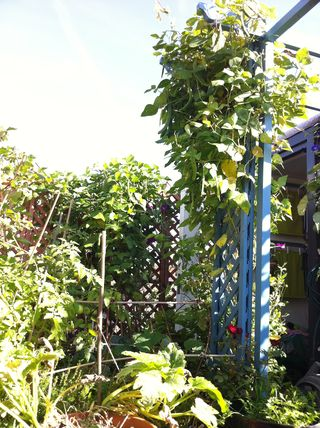 The trellises in early october 2013