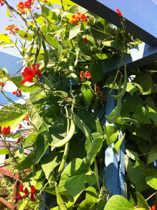 Runner beans red emperor cropping on a trellis 2013 August