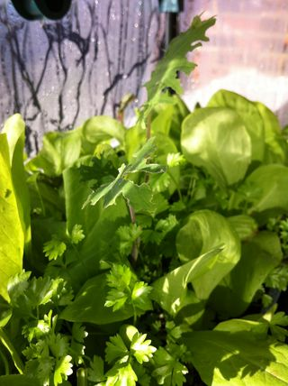 Winter chicory and self sewn wild celery nov 2013