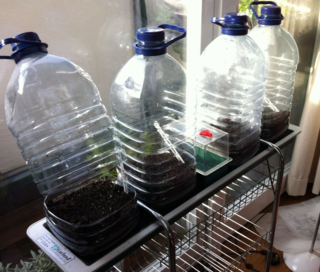 5litrebottle greenhouses for toms and chillies