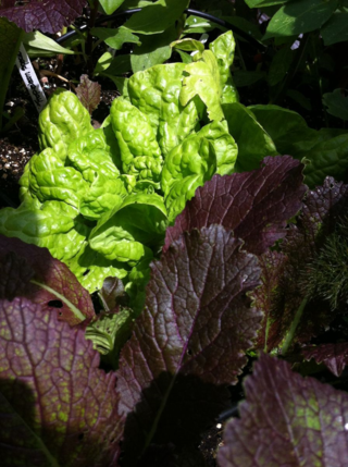 140522 lettuce and giant red mustard