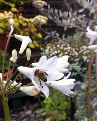 Bee in a white allium