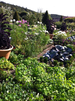 Cabbages and brassica  are always set amongst nasturtiums and other flowers for protection and camoflage