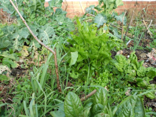 Dscn3223-kales-sorrel-leeks-lambs-lettuce-leeks-getting-going annis garden