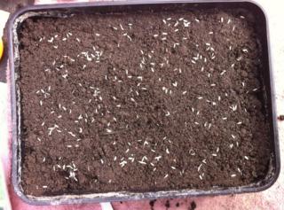 140829 autumn sowing lettuce