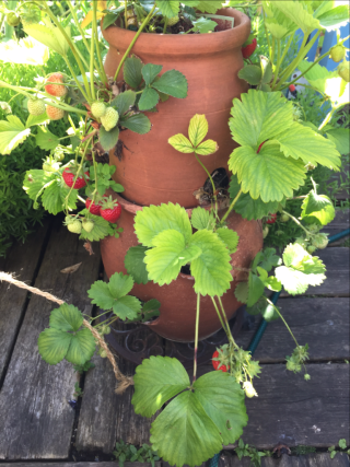 Strawberry pot tall