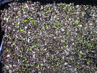 140829 seeds germinated 1sept