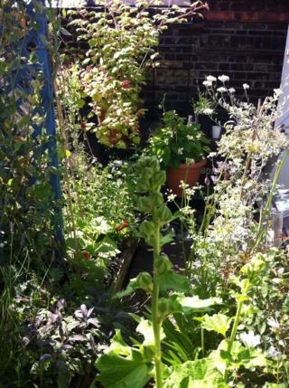 141010 wild celery in the garen