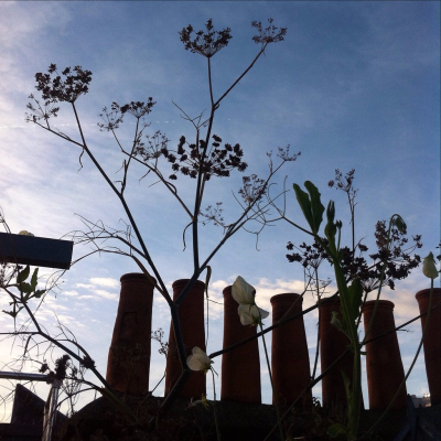 2016 dill against chimney pots Breneda at Bud