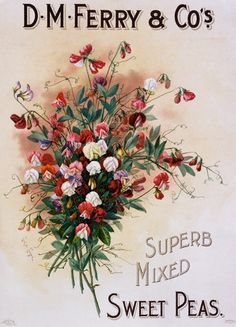 141010 sweet pea mixed